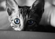 Katze mit den blauen Augen, welche die Kamera betrachten Stockbild