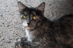 Katze mit den grünen Augen, die nach vorn schauen Stockfotografie