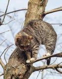 Katze mit den schwarzen Streifen, die auf einer Niederlassung eines Baums sitzen, der keine Blätter hatte Lizenzfreie Stockfotografie