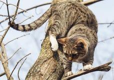 Katze mit den schwarzen Streifen, die auf einer Niederlassung eines Baums sitzen, der keine Blätter hatte Stockbild