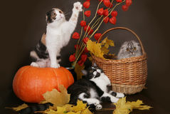 Katze mit drei Scottish mit Kürbis. Stockfoto