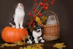 Katze mit drei Scottish mit Kürbis. Stockfotos