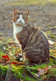 Katze mit einer gebrochenen Braue Stockfoto
