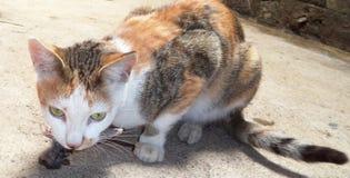 Katze mit einer gejagten Ratte Stockbilder