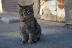 Katze mit einer grünen Halskette leckt lizenzfreie stockbilder