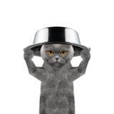 Katze mit einer Schüssel auf seinem Kopf wird essen Stockbild