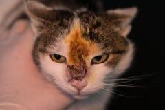 Katze mit einer Wunde behandelt auf dem Gesicht stockbild