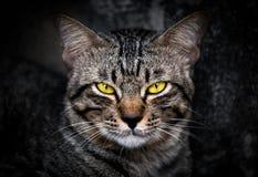 Katze mit gelben Augen in der Dunkelheit lizenzfreies stockfoto