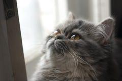 Katze mit gelben Augen, flaumige, persische Katze, nett, Miezekatze, Kätzchen, Pussykatze, schön, glänzend stockfotos