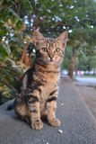 Katze mit grünen Augen Lizenzfreie Stockfotografie