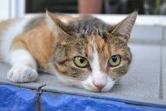 Katze mit grünen Augen Stockfotografie