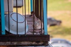 Katze mit großen blauen Augen auf dem Balkon, der die Kamera betrachtet Stockfotografie