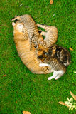 Katze mit Kätzchen Stockfotos