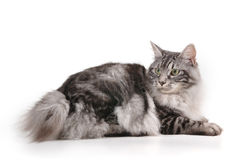 Katze mit kleinem Heck Lizenzfreies Stockfoto