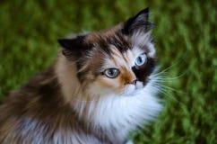Katze mit kosmischen blauen Augen betrachtet Kamera auf grünem Hintergrund stockbilder