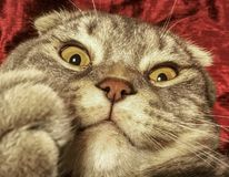 Katze mit merkwürdigem emotionalem Gesicht Lizenzfreie Stockfotos