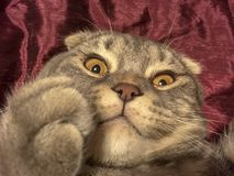 Katze mit merkwürdigem emotionalem Gesicht Stockbilder