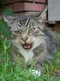 Katze mit offenem Mund Stockfotografie