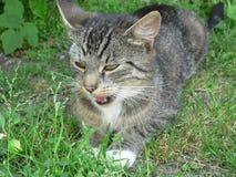 Katze mit offenem Mund Lizenzfreies Stockbild