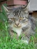 Katze mit offenem Mund Lizenzfreie Stockfotos