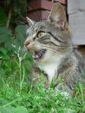 Katze mit offenem Mund Stockbild