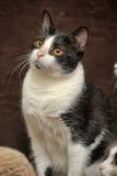 Katze mit orange Augen Stockfotos