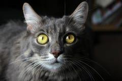 Katze mit schönen Augen Stockbild