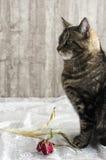 Katze mit Tulpe Stockfotos