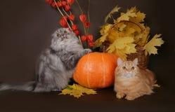 Katze mit zwei Scottish mit Herbstblättern Lizenzfreies Stockfoto