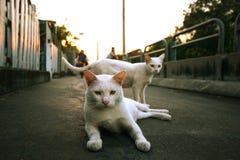 Katze mit zwei Weiß Stockfotografie