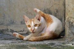 Katze in mittlerem des Pflegens Lizenzfreie Stockfotos