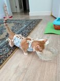 Katze nach Trinkwasser der Chirurgie stockbilder