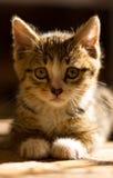 Katze, netter lustiger Katzenabschluß oben, Hauskatze, Katzenstillstehen, Stockfoto