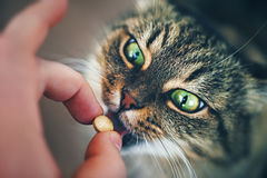 Katze nimmt eine Pille ein Lizenzfreies Stockbild