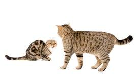 Katze nimmt Katze in Angriff stockfotografie