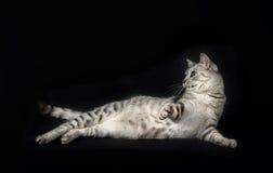 Katze oben lokalisiert im dunklen Hintergrund-, Katzenporträtabschluß, in der Katze im Studio mit Raum für die Werbung und im Tex Lizenzfreie Stockfotos