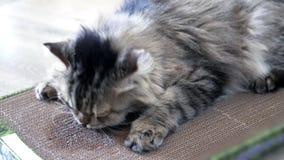 Katze roch Minze im Kasten, reibt Schnauze der Pappe, Geifer 4K stock video footage