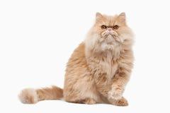 Katze Rote persische Katze auf weißem Hintergrund Stockbilder