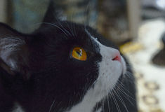 Katze ` s Blick im Makroschnurrbart, braune Augen, rosa Nase Lizenzfreie Stockbilder