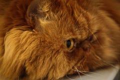 Katze ` s Gesicht Stockbilder