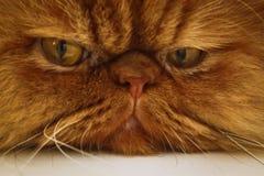 Katze ` s Gesicht Stockfotografie