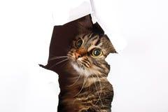 Katze schaut aus einem Papierloch heraus, getrennt auf weißem b Stockfotografie