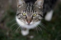 Katze. Schaut nach Oben Royalty Free Stock Photos