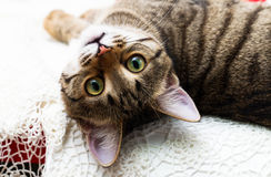 Katze schaut umgedrehte Augen, seinen Kopf, der zurück, die Katze ` s schönen gelben Augen grüner Augen geworfen wird Stockfotografie