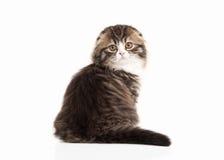 Katze Schottisches Hochlandkätzchen mit Weiß auf weißem Hintergrund Stockfotografie