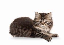 Katze Schottisches Hochlandkätzchen mit Weiß auf weißem Hintergrund Stockbilder