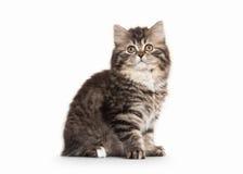 Katze Schottisches Hochlandkätzchen mit Weiß auf weißem Hintergrund Lizenzfreie Stockfotos