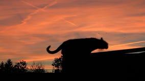 Katze, schwarze Katze in der Dunkelheit, Krähen, furchtsam stock footage