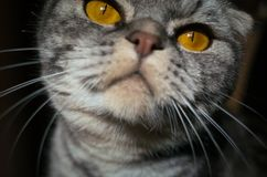 Katze selfie: eine neugierige schottische Faltenkatze schnüffelt das Kameraobjektiv stockfoto