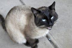 Katze siamesisch lizenzfreie stockfotos